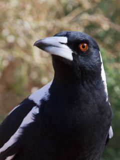 Daryl The Magpie